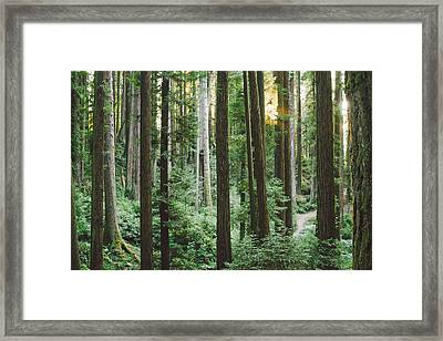 Path In The Redwoods Framed Print
