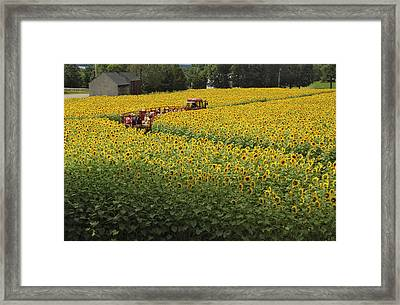 Path Through The Sunflowers Framed Print