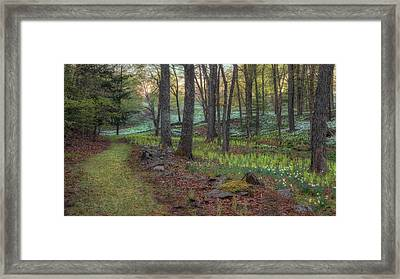 Path To The Daffodils Framed Print