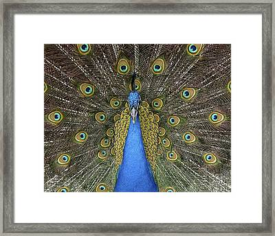 Patient Peacock Framed Print