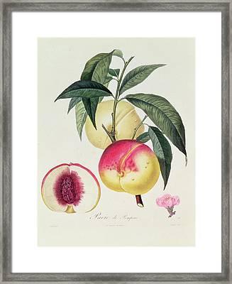 Pavie De Pompone Framed Print by Pierre Antoine Poiteau