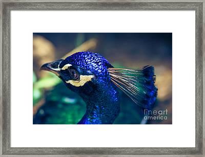 Pavo Cristatus - Indian Blue Peacock - Maui Hawaii Framed Print by Sharon Mau