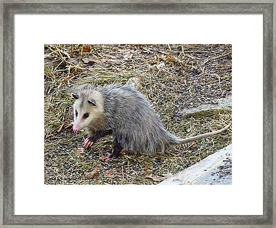 Pawing Possum Framed Print