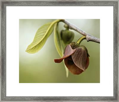 Pawpaw - Spring Delight Framed Print