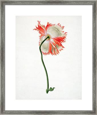 Field Poppy Framed Print by Pieter Withoos