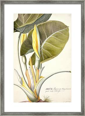 Arum Maximum Framed Print