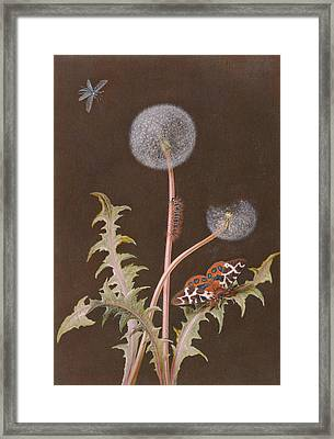 Pd.380-1973 Dandelion With Insects Framed Print by Margaretha Barbara Dietzsch