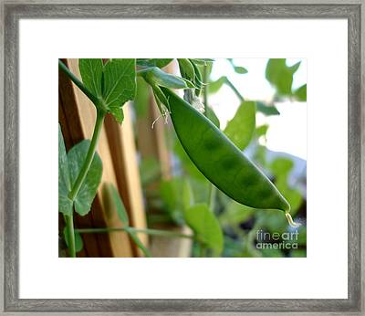 Pea Pod Growing Framed Print