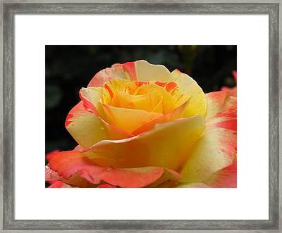 Peace Hybrid Tea Rose Framed Print
