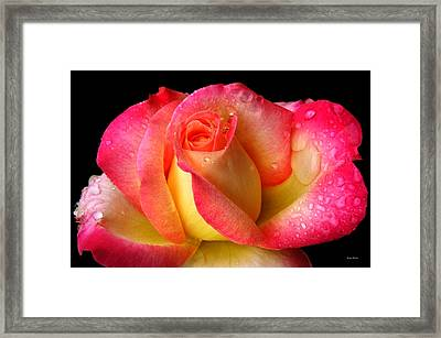 Peace Rose 001 Framed Print