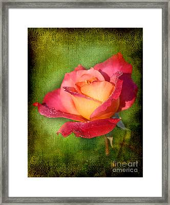 Peace Rose Framed Print by Joan McCool