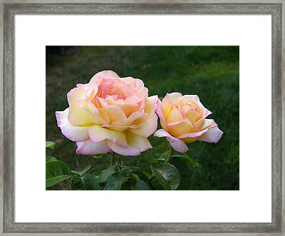 Peace Rose Framed Print by Lynne Thibault