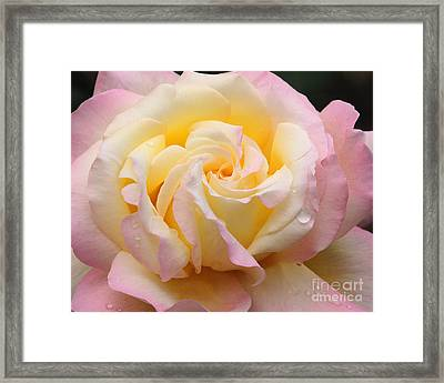 Peace Rose Framed Print by Olivia Hardwicke