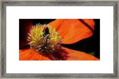 Peaceful Poppy Framed Print by Bruce Bley