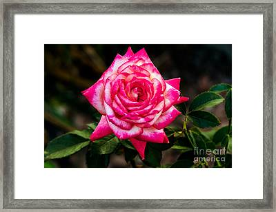 Peaceful Rose Framed Print