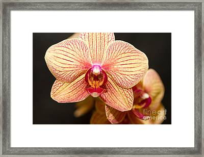 Peach Beauty Framed Print