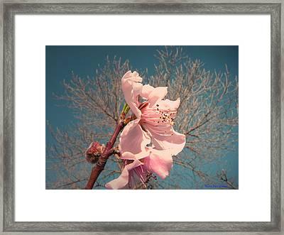 Peach Blossom 2013 Framed Print by Joyce Dickens