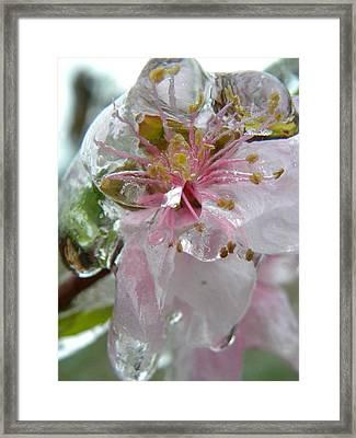 Peach Blossom In Ice Two Framed Print by Sheri Lauren Schmidt