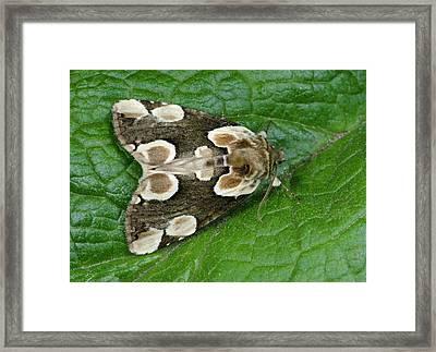 Peach Blossom Moth Framed Print by Nigel Downer