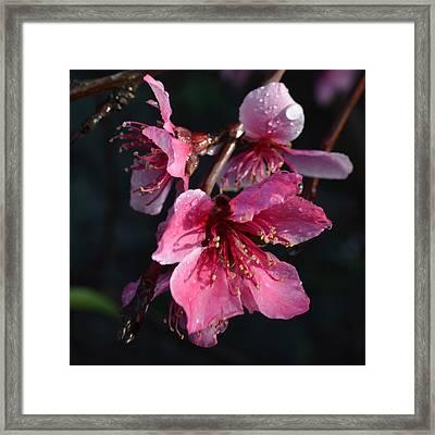Peach Blossoms 1.1 Framed Print by Cheryl Miller