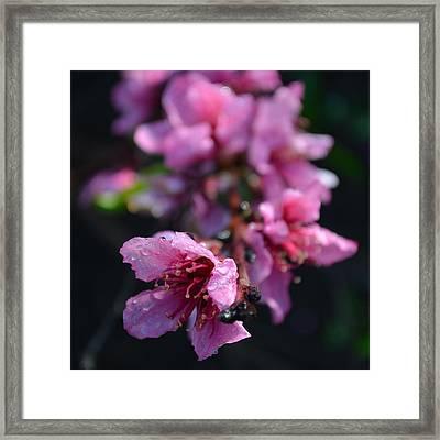 Peach Blossoms 1.4 Framed Print by Cheryl Miller