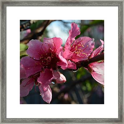 Peach Blossoms 1.5 Framed Print by Cheryl Miller