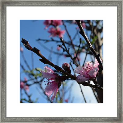 Peach Blossoms 1.7 Framed Print by Cheryl Miller