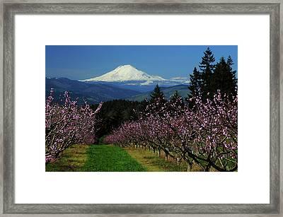 Peach Blossoms, Hood River, Oregon, Usa Framed Print by Michel Hersen