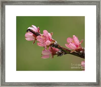 Peach Blossoms II Framed Print