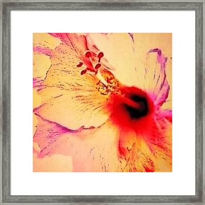 Peach Colored Hibiscus Flower Close Up - Square Framed Print