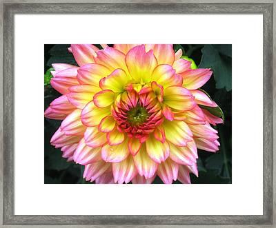 Peach Dahlia Framed Print by Will Boutin Photos