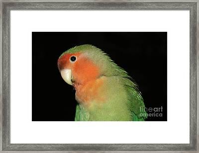 Peach Faced Lovebird Framed Print