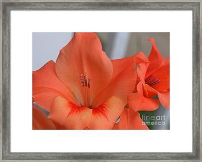 Peach Glads 2 Framed Print