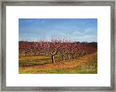 Peach Orchard Framed Print