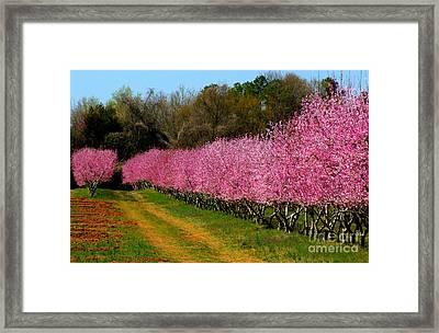 Peach Orchard In Carolina Framed Print by Lydia Holly