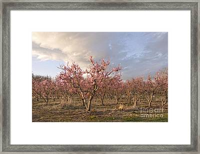 Peach Orchard Framed Print