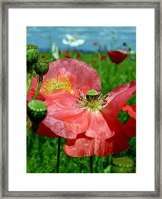 Peach Poppy Pods Framed Print