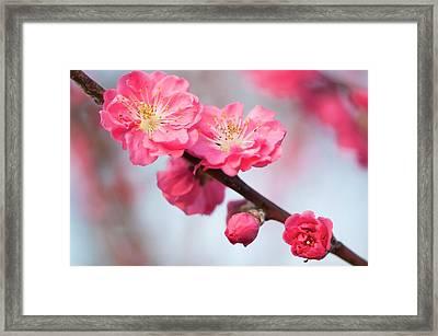 Peach (prunus Persica 'red Baron') Framed Print