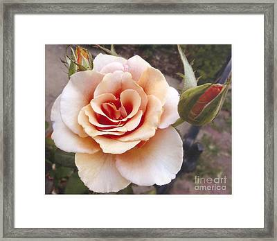 Peach Rose 1 Framed Print
