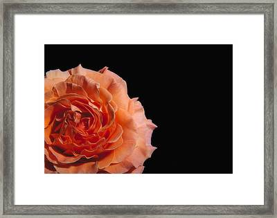 Peach Rose Black Background Framed Print by Paul W Sharpe Aka Wizard of Wonders