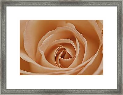 Peach Rose Framed Print by Lesley Rigg