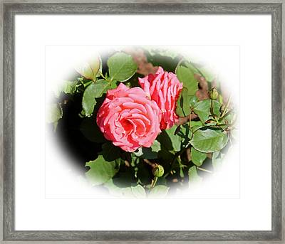 Peach Rose Framed Print by Victoria Sheldon