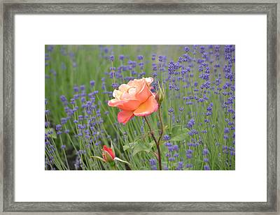 Peach Roses In A Lavender Field Of Flowers Framed Print