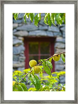 Peach Tree At The Old Mill Of Guilford Framed Print by Sandi OReilly
