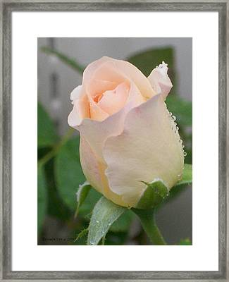 Framed Print featuring the photograph Fragile Peach Rose Bud by Belinda Lee