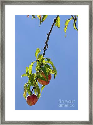 Peaches Hanging From Tree Framed Print