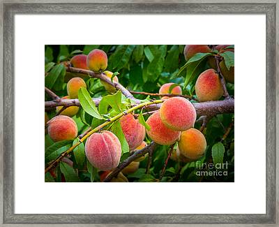 Peaches Framed Print by Inge Johnsson