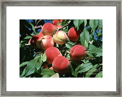 Peaches On Tree Framed Print by Lanjee Chee