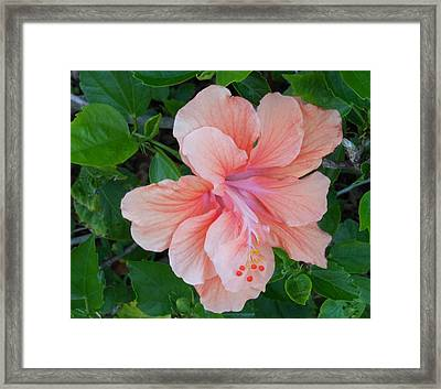 Peachy Hibiscus Framed Print by Kay Gilley