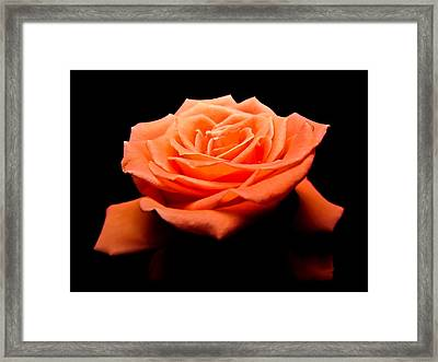 Peachy Rose II Framed Print
